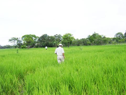 arroz_ecuador